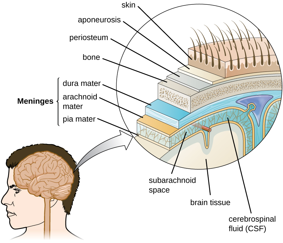 Diagram of layers around the brain. The pia mater is a thin covering that is on the surface of the brain. Around that is cerebrospinal fluid (CSF), a region that contains blood vessels. The arachnoid maintains this space. The dura mater is the next layer out and is thick. These three layers (dura mater, arachnoid, and pia mater) make up the meninges. The next layer out is bone. The next layer is a thn periosteum, then a thin aponeurosis, and finally skin.