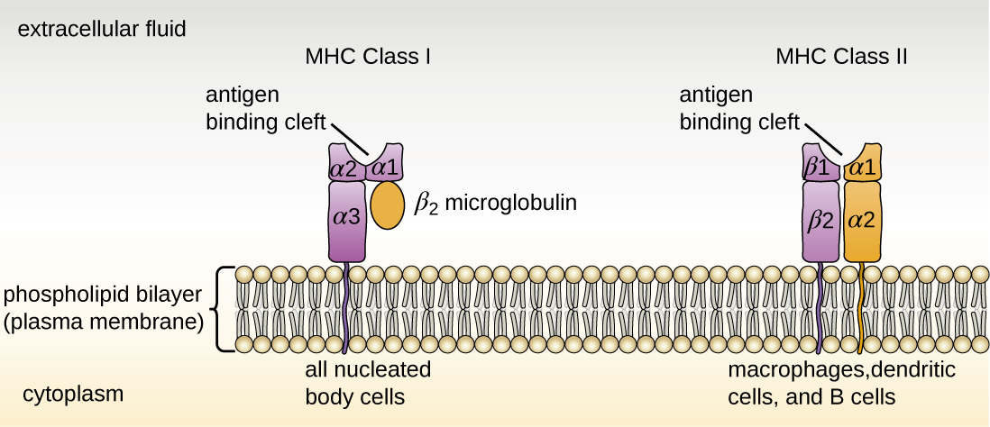 Drawing of a phospholipid bilayer (plasma membrane). An MHC Class I protein molecule is found in all nucleated body cells. It has a linear portion in the membrane and four portions on the outer side of the cell. One of these portions connects to the membrane spanning portion; two form the antigen binding site; and the fourth is labeled the Beta-2 microglobulin. MHC Class II protein molecules are found in lymphocytes and macrophages. This has two membrane spanning portions (each attached to a portion on the outside of the cell). The two portions attached to these form the antigen binding site.