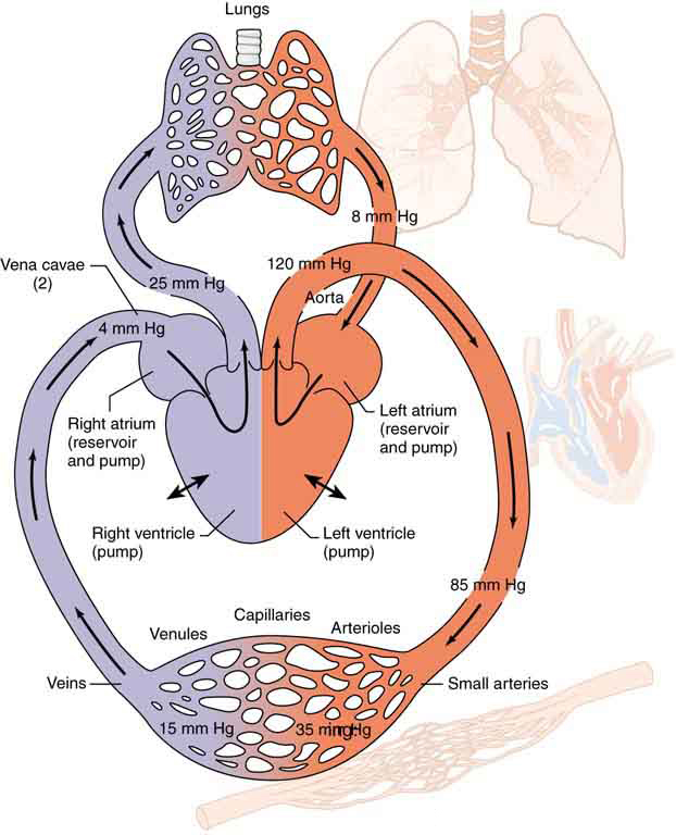 The figure shows the circulatory system in the human body. The figure shows the right atrium and the left atrium, right ventricle and the left ventricle of the heart. The heart consists of two pumps—the right side forcing blood through the lungs and the left causing blood to flow through the rest of the body.
