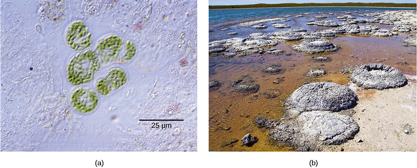 Photo A depicts round colonies of blue-green algae. Each algae cell is about 5 microns across. Photo B depicts round fossil structures called stromatalites along a watery shoreline.