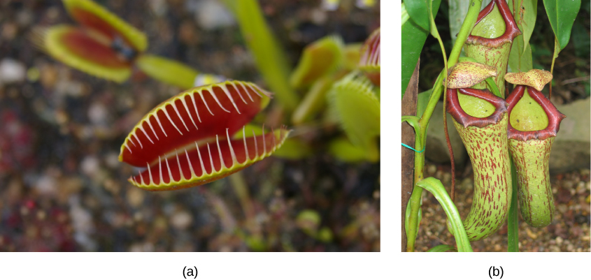 Left photo shows modified leaves of a Venus flytrap. The two leaves resemble the upper and lower part of the mouth, and are red on the interior. Hair-like appendages, like teeth, frame each modified leaf, so that when the leaves close, the insect will be trapped. Right photo shows three modified leaves of the pitcher plant, which are green tubes with red specks and have a red rim forming the top opening.