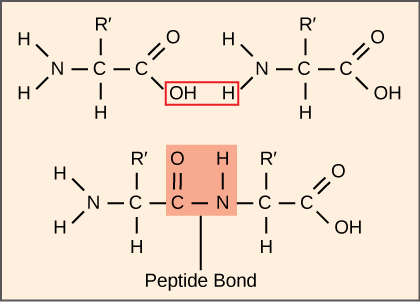 Illustration shows two amino acids side-by-side. Each amino acid has an amino group, a carboxyl group, and a side chain labeled R or R'. Upon formation of a peptide bond, the amino group is joined to the carboxyl group. A water molecule is released in the process.