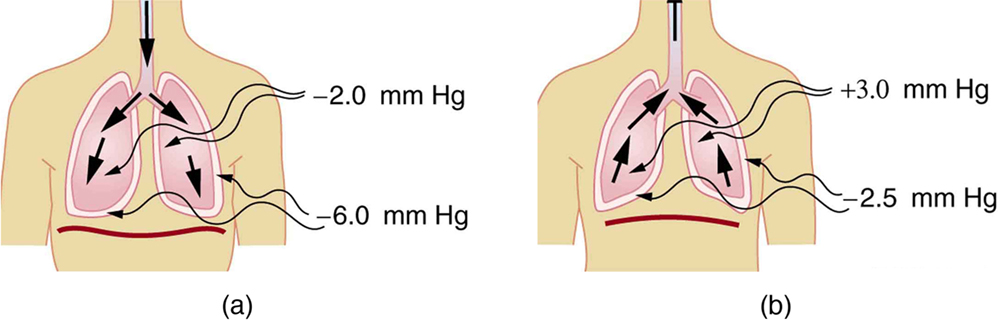 The figures represent the inhalation and expiration process in the human body. It shows the working of the various muscles and the movement of the diaphragm that causes the variation in the pressure inside the lungs.