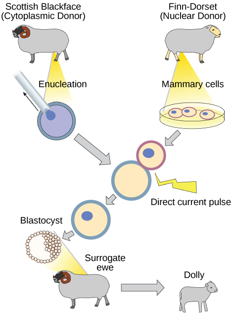 The illustration shows the steps in cloning the sheep named Dolly. An enucleated egg cell from one sheep is fused with a mammary cell from another sheep. This fused cell then divides to the blastocyst stage and is placed in the uterus of the surrogate ewe, where it develops into the lamb, Dolly. Dolly is the genetic clone of the mammary cell donor.