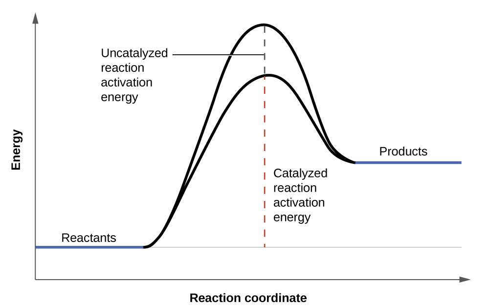 "A graph is shown with the label, ""Reaction coordinate,"" on the x-axis. The x-axis is depicted as an arrow. The y-axis is also an arrow and is labeled, ""Energy."" There is a horizontal line that runs the width of the graph and appears just above the x-axis. A segment of this line is blue and is labeled, ""Reactants."" From the right end of this line segment, a solid black, concave down curve is shown which reaches the level just below the end of the y-axis. The curve ends at another short, blue line labeled, ""Products."" The ""Products"" line appears at a higher level than the ""Reactants"" line. An arrow extends from the horizontal line to the apex of the curve. The arrow is labeled, ""Uncatalyzed reaction activation energy."" A second, black concave down curve is shown. This curve also meets the reactants and products blue line segments, but only extends to about two-thirds the height of the initial curve. From the horizontal line is another arrow pointing to the apex of the second curve. This arrow is labeled, ""Catalyzed reaction activation energy."""