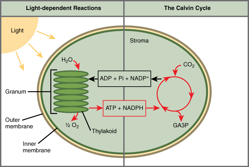 This illustration shows a chloroplast with an outer membrane, an inner membrane, and stacks of membranes inside the inner membrane called thylakoids. The entire stack is called a granum. In the light reactions, energy from sunlight is converted into chemical energy in the form of ATP and NADPH. In the process, water is used and oxygen is produced. Energy from ATP and NADPH are used to power the Calvin cycle, which produces GA3P from carbon dioxide. ATP is broken down to ADP and Pi, and NADPH is oxidized to NADP+. The cycle is completed when the light reactions convert these molecules back into ATP and NADPH.