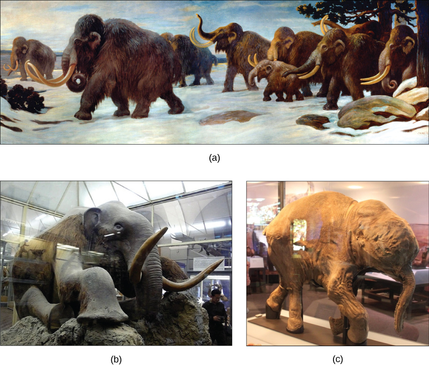 Image (a) shows a painting of mammoths walking in the snow. Photo (b) shows a stuffed mammoth sitting in a museum display case. Photo (c) shows a mummified baby mammoth, also in a display case.