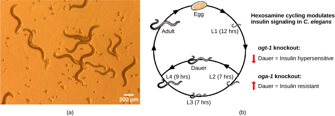 Photo a shows transparent worm about a millimeter in length. Illustration B shows the life cycle of C. elegans, which begins when the egg hatches, releasing a L1 juvenile. After 12 hours the L1 juvenile transforms into an L2 juvenile. After 7 hours the L2 juvenile transforms into an L3 juvenile. After another 7 hours the L3 juvenile transforms into an L4 juvenile. After 14 hours the L4 juvenile transforms into an adult. The hermaphroditic adult mates with another adult to produce fertilized eggs which hatch, completing the cycle.