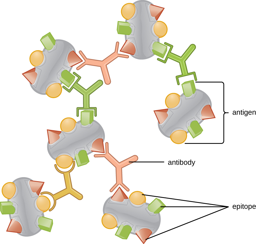 Many antigens (shown as large spheres) each with multiple shapes on the surface labeled epitopes. Different antibodies are shown each with a binding site specific to one of the epitopes.