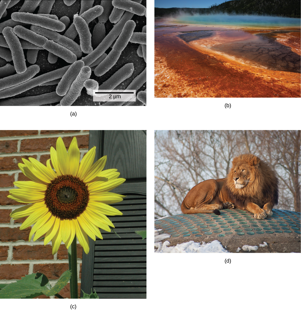 There are four photos shown.  The first photo is a micrograph, showing tubelike bacterial.  The second photo shows a steaming body of water, refered to as a hot vent.  Some of the water is a typical blue, while the outer edges are rust colored.  The third picture shows a tall sunflower, with a thick stem and bright yellow petals.  The fourth photo shows a muscular lion that has a thick mane of hair around its neck and head.