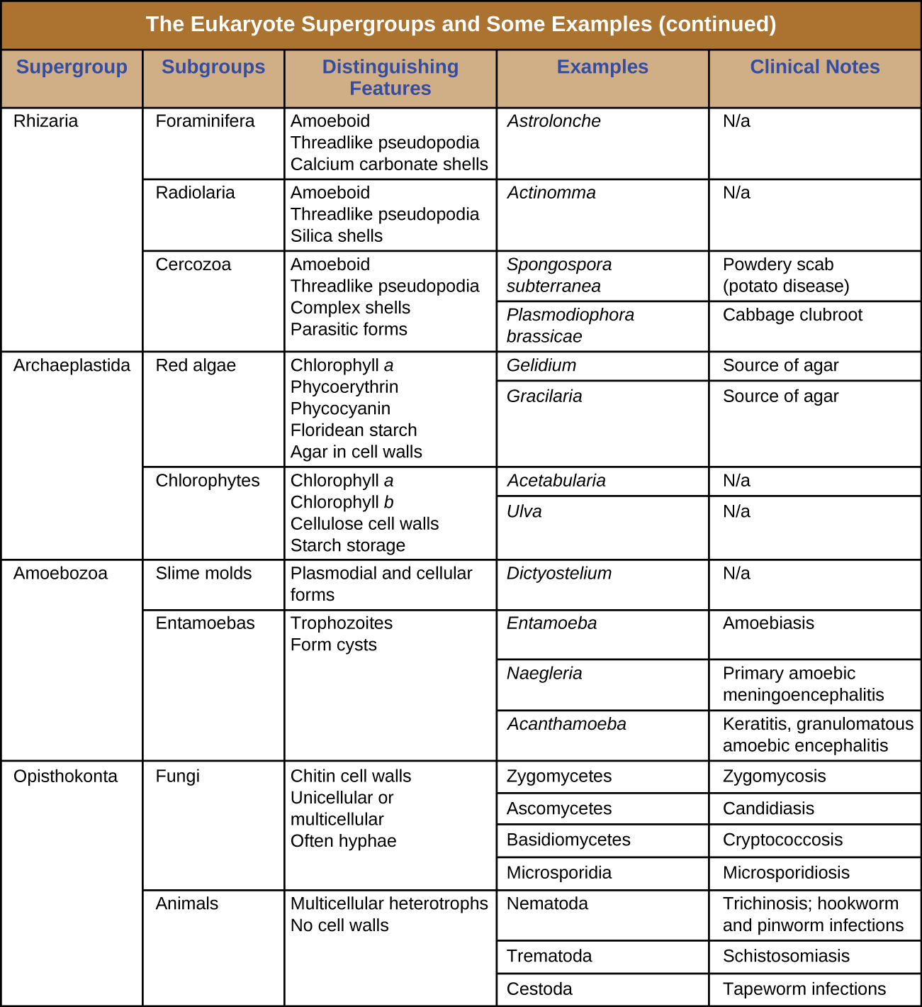 Table titled: the eukaryote supergroups and some example species. There are 5 columns in the table: supergroup, subgroup, distinguishing features, examples and clinical notes. The supergroup Rhizaria is divided into 3 subroups: Foraminifera, Radiolaria, and Cerozoa. Foraminifer have the following distinguishing features: amoeboid, thereadlike pseudopodia, calclium carbonate shells. An example is Astrolonche which does not cause disease. Radiolaria have the following distinguishing features: amoeboid, threadlike pseudopodia, silica shells. An example is Actinomma which does not cause disease. Cerozoa have the following distinguishing features: amoeboid, threadlike pseudopodia, complex shells, parasitic forms. Examples include Spongospora subterranean which causes powdery scab (potato disease) and Plasmodiophora brassicae which causes cabbage clubroot. Supergroup Archaeplastida is divided into 2 groups: red algae and Chlorophytes. Red algae have the following distinguishing features: chlorophyll a, phycoerythrin, phycocyanin, flodean starch, agar in cell walls. Examples include Gelidium and Gracilaria which are sources of agar. Chlorophytes have the following distinguishing features: chlorphyll a, chlorophyll b, cellulose cell walls, starch storage. Examples include Acetabularia and Ulva which do not cause disease. Supergroup Amoebozoa is divided into 2 subgroups: slime molds and entamoebas. Slime molds have plasmodial and cellular forms. An example is Dictyostelium which does not cause disease. Entamoebas have the following distinguishing features: trophozoites and form cysts. Examples include Entamoeba which causes Amoebiasis, Naegleria which causes Primary amoebic meningoencephalitis, and Acanthamoeba which causes Keratitis, and granulomatous ameoebic encephalitis. Supergroup Opisthokonta is divided into subroups fungin and animals. Fungi have the following distinguishing features: chitin cell walls, unicellular or multicellular, often hyphae. Examples include Zygomyctes which cause zygomycosis, Asomycetes which cause Candidiasis, Basidiomycetes which cause Cryptococcosis, and Microsporidia which causes microsporidiosis. Animals have the following distinguishing features: multicellular heterotrophs with no cell walls. Examples include Nematoda which cause Trichonosis, hookworm and pinworm infections, Termatoda which causes Schistosomiais, and Cestoda which causes tapeworm infection.