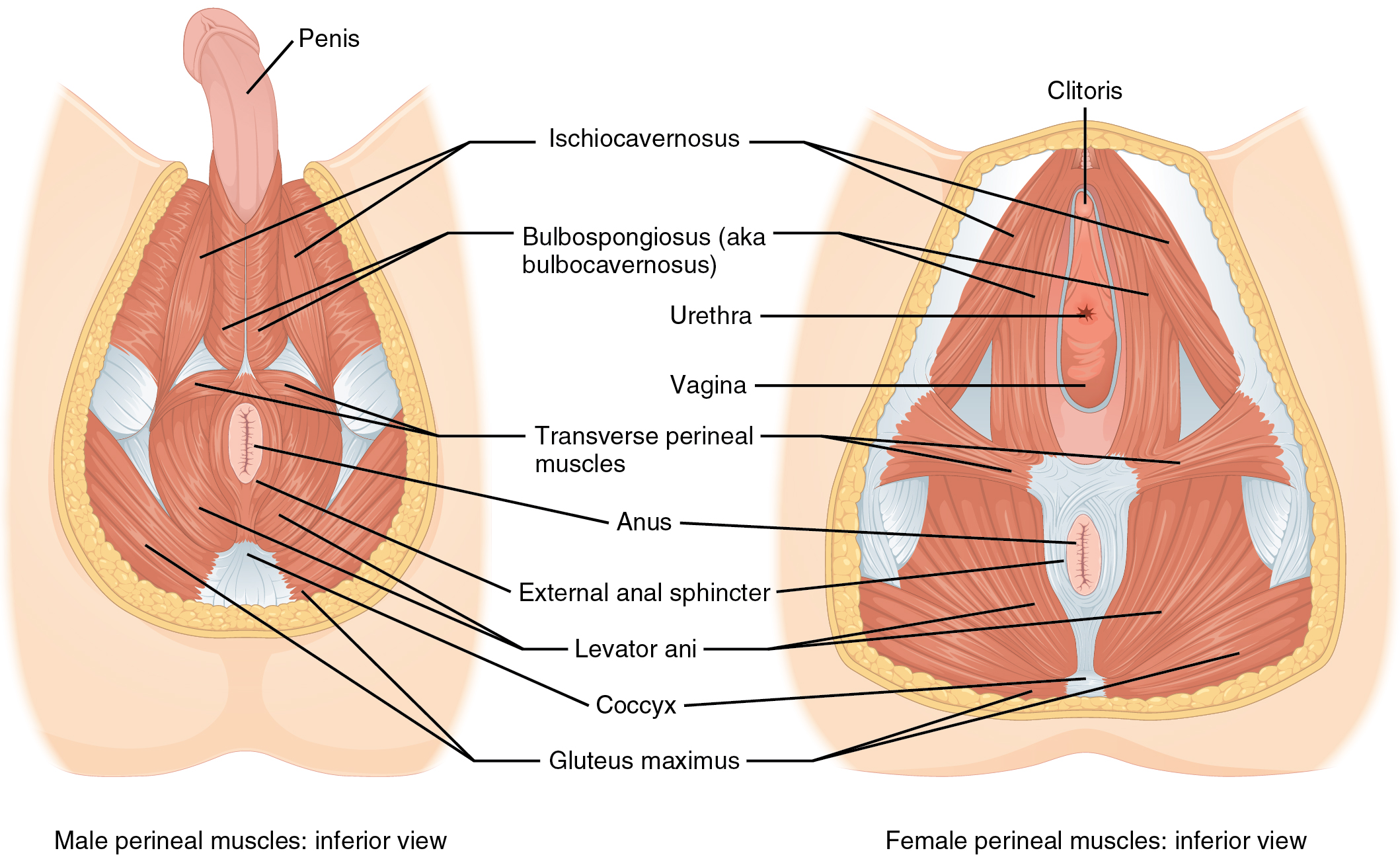 The left panel shows the muscles of the perineum in the male, and the right panel shows the muscles of the perineum in the female.