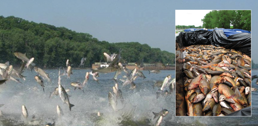 Large photo shows many big fish jumping out of the water, and inset photo shows a portion of a boat filled with dead fish.