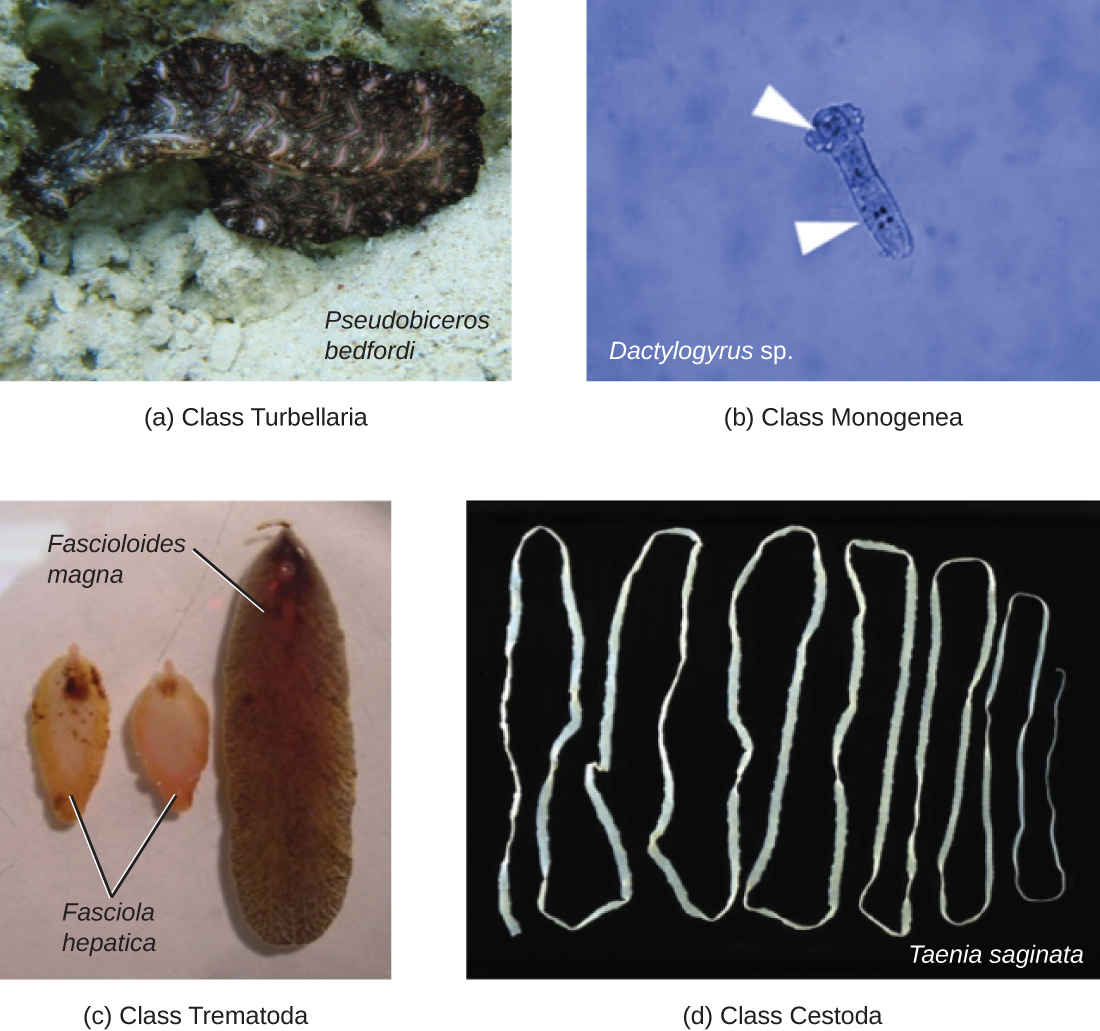 a) Class Turbellaria – a photograph of a flat oval-shaped worm labeled Pseudobiceros bedfordi. B) Class Monegena – a micrograph of a rectangular cell with a bulb at one end. Labeled Dactylogyrus sp. C) Class Trematoda – A photograph of a long oval organism labeled Fascioloides magna and two smaller oval organisms labeled Fasciola hepatica. D) Class Cestoda – A photograph of a very long tapeworm labeled Taenia saginata.