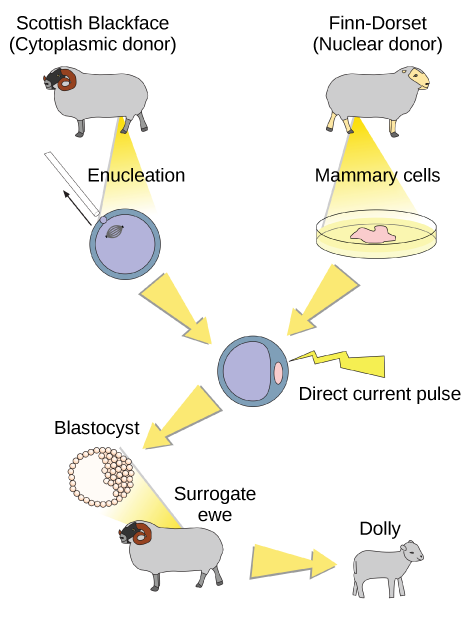 To clone Dolly the sheep, a Scottish Blackface sheep was used as a cytoplasmic donor. Eggs from this sheep were extracted, and the nucleus removed. A Finn Dorset sheep was used as the nuclear donor. Nuclei were extracted from mammary cells, and direct electric current was used to fuse the nuclear D N A with the donor egg. The egg was then allowed to divide to the blastocyst stage, in which a sphere of cells contains a cluster of cells on one side. The blastocyst was implanted in a surrogate mother, resulting in Dolly the sheep.