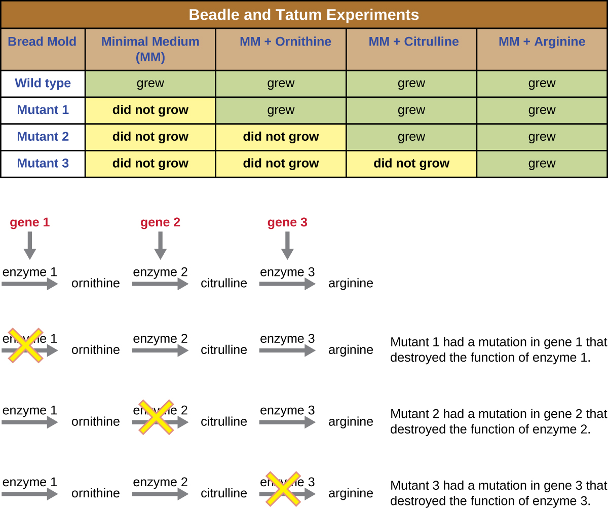 The table at the top is labeled Beadle and Tatum Experiments and shows the growth pattern of 4 different spores. The wild type spore grew on minimal medium (MM), MM + Ornithing, MM + Citruline and MM + Arginine. Mutant 1 did not grow on MM but did grow on MM + Ornithing, MM + Citruline and MM + Arginine. Mutant 2 did not grow on MM or  MM + Ornithing but did grow on  MM + Citruline and MM + Arginine. Mutant 3 did not grow on MM, MM + Ornithing, or MM + Citruline but did grow on MM + Arginine.  Underneath the table is a diagram that explains these results. The top diagram shows a pathway where gene 1 produces enzyme 1 and enzyme 1 produces ornithine. Gene 2 produces enzyme 2 which converts ornithine to citruline. Gene 3 produces enzyme 3 which converts citruline to arginine. Mutant 1 had a mutation in gene 1 that destroyed the function of enzyme 1, so one of the amino acids are produced. Mutant 2 had a mutation in gene 2 that destroyed the function of enzyme 2. So, Ornithine is still produced but citruline and arginine are not. Mutant 3 had a mutation in gene 3 that destroyed the function of enzyme 3. So, ornithine and citruline are produced but arginine is not.