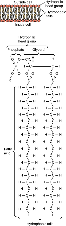 The figure shows a glycerol and phosphate molecule attached to each other with a label that reads hydrophilic head group. The phosphate molecule consists of a P in the middle with four main branches: a double line connecting to an O, a single line connecting to an O that is also connected by a single line to a R, a single line connecting to an O-, and a single line connecting to an O. The single line connected to the O is also connected by a single line to a C in the glycerol molecule.  This C is connected by two single lines to two H atoms and to another C. This second C is also connected by single lines to:  1 H, 1 C on the right side of the molecule that is connected to two Hs. The left C that connects to the right C are each connected with single lines to separate O atoms. These two O atoms are each connected to separate C atoms that are connected by a double line to an O atom. Finally, these two C atoms are also connected to two separate fatty acid chains made C atoms connected to each other by single lines. Each C is also connected to H molecules, forming four total bonds for each C. Next to the molecule is an image of the cell membrane with two layers. The top of the diagram is labelled Outside of the Cell and the bottom is labelled Inside of the cell. The very top and the bottom of the two layers contain circular structures labelled hydrophobic head. In the middle are string-like structures labelled hydrophilic tails.
