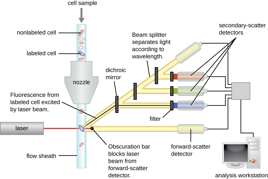 A cell sample goes through a nozzle and is separated into a cell and a flow sheath in a tube on the other side. A laser hits this tube at a 90 degree angle and breaks off in two directions, one goes straight through and is labeled obscuration bar, the other at a 45 degree angle. There are 3 dichroic mirrors which break off and 3 filters. All 5 of the paths converge and are sent to an analysis workstation.