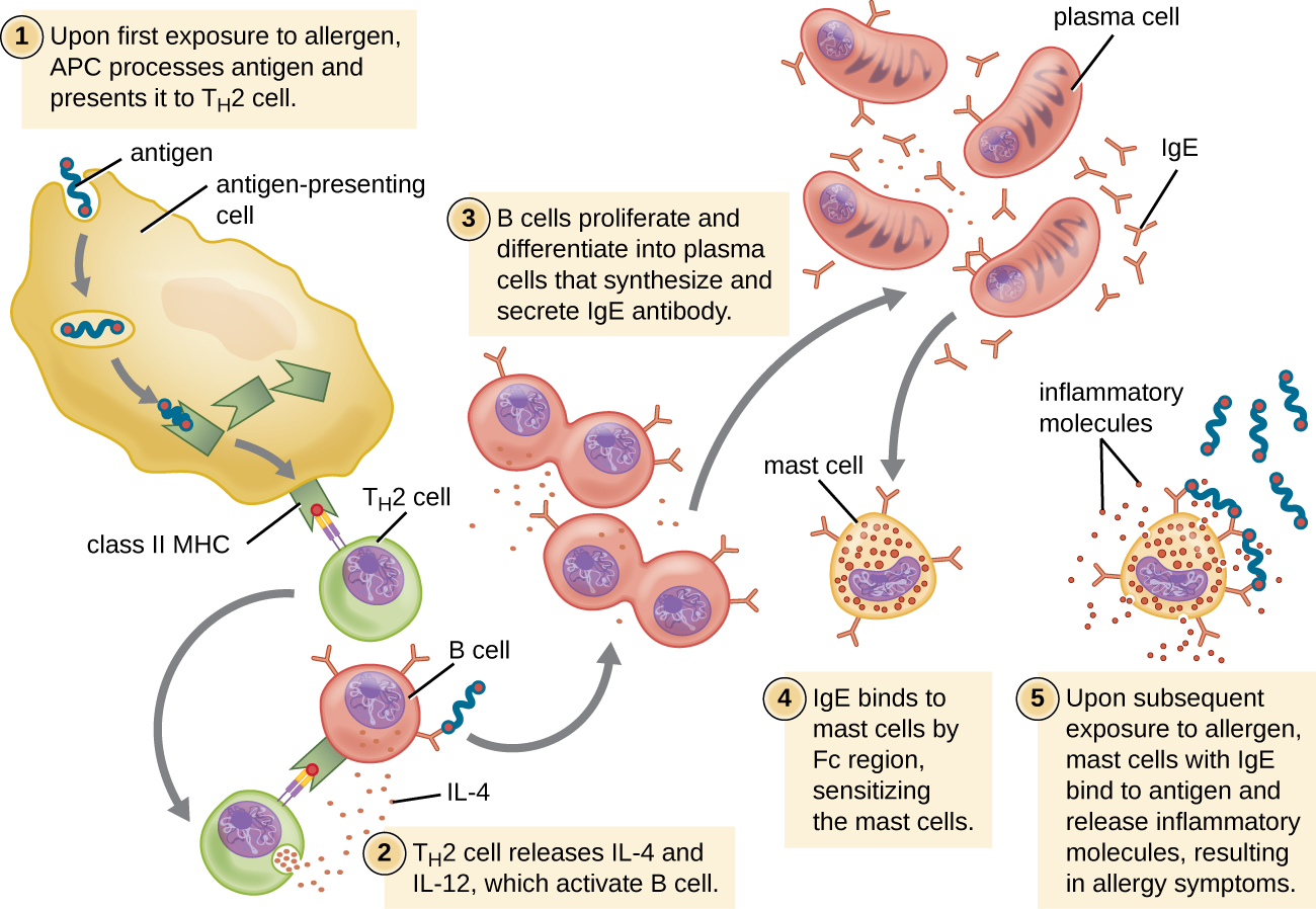 Drawing of TH2 cell response. 1: Upon first exposure to allergen, antigen presenting cell processes antigen and presents it to TH2 Cell. A large antigen presenting cell is shown engulfing an antigen which is attached to a Class II MHC inside the cell. This class II MHC is then placed on the surface with the antigen on the end of the MHC. The TH2 cell has a receptor that binds to the antigen on the MHC. 2: TH2 cell releases IL-2 and IL-4 which activates B cell. The TH2 cell has unbound from the Antigen presenting cell and binds to a B cell with the antigen on it's MHC and antibodies. The TH2 cell then releases small dots. 3: B cells proliferate and differentiate into plasma cells that synthesize and secrete IgE antibody. B cell is shown dividing. These cells tehn become plasma cells which are larger and are producing many IgE 4: IgE binds to mast cells by Fc region, sensitizing the mast cells. Mast cell is shown with IgE bound to it. 5: Upon subsequent exposure to allergen, mast cells with IgE bind to antigen and release inflammatory molecules, resulting in allergy symptoms. Antigen is shown bound to mast cell and the mast cell is releasing little dots labeled inflammatory molecules.