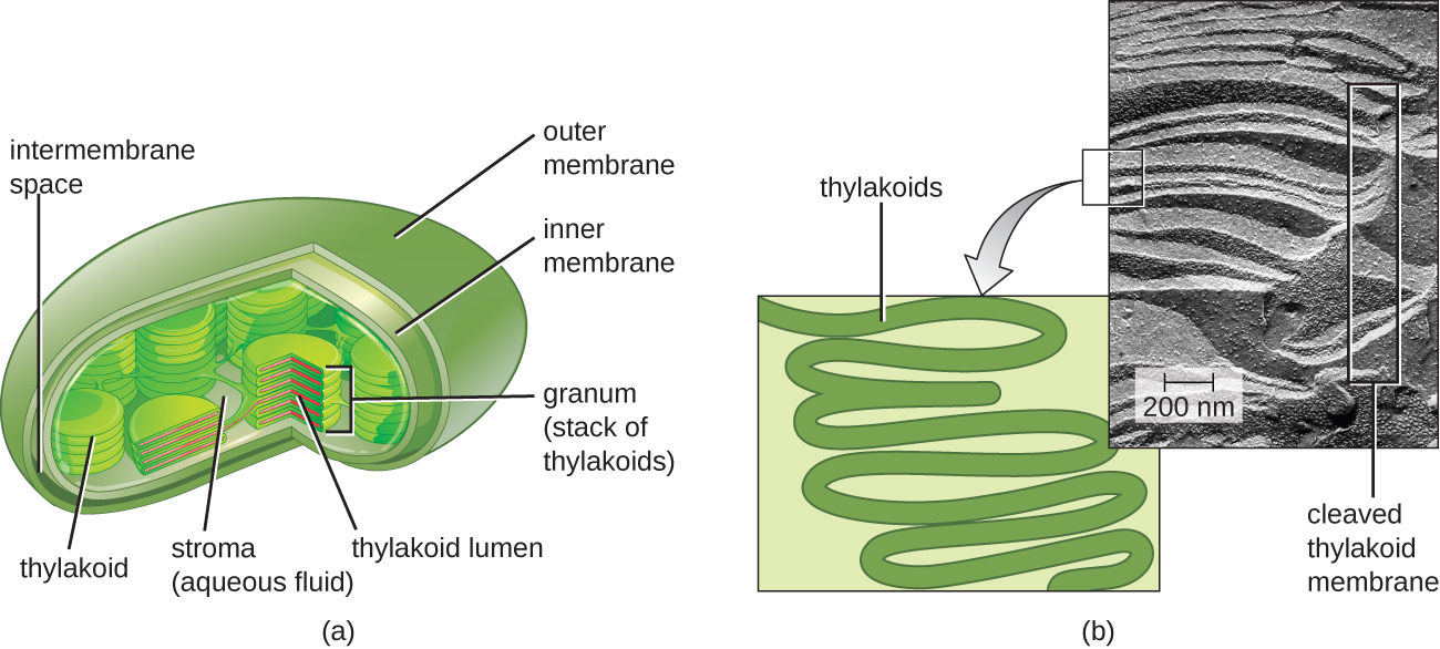 Figure 8.20 (a) Photosynthesis in eukaryotes takes place in chloroplasts, which contain thylakoids stacked into grana. (b) A photosynthetic prokaryote has infolded regions of the plasma membrane that function like thylakoids. (credit: scale bar data from Matt Russell.)