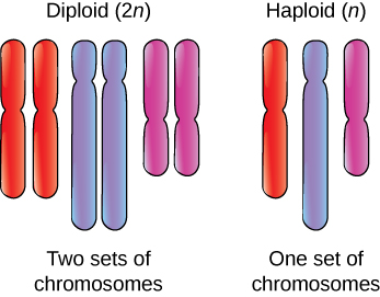 A depicture of a diploid arrangement of chromosomes shows two each of three different chromosomes.  This is next to a diagram of a haploid arrangement of chromosomes with only one of each of three chromosomes.