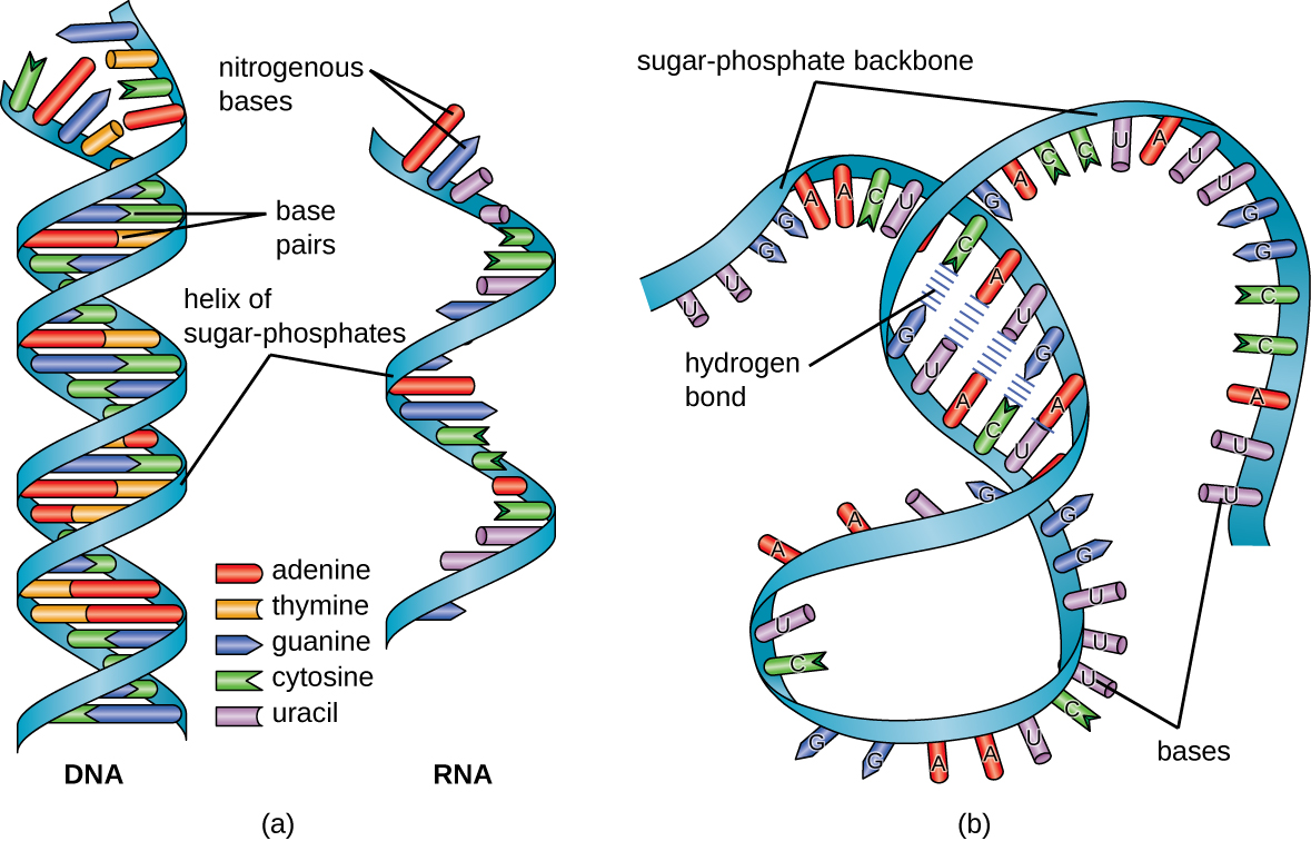 a) A diagram of DNA and RNA. DNA has the double helix shape with the helix of sugar-phosphates on the outside and the base pairs on the inside. RNA has a single helix of sugar-phosphates with nitrogenous bases along the length of the helix. B) A diagram showing RNA folding upon itself. The bases attached to the sugar-phosphate backbone can form hydrogen bonds if there are stretches of complimentary bases at some distance from each other on the long strand. Other regions do not have these hydrogen bonds.