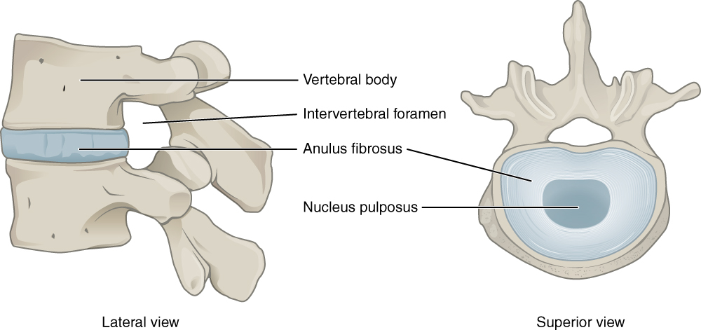 This image shows the structure of the intervertebral disk. The left panel shows the lateral view and the right panel shows the superior view.