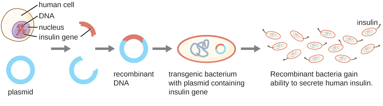 A diagram explaining recombinant DNA technology. The insulin gene is removed from the DNA in the nucleus of a human cell. This gene is then inserted into a plasmid (a round piece of DNA). The result is a recombinant plasmid which gets inserted into a bacterial cell. The resulting transgenic bacterium is a bacterial cell with a plasmid containing the insulin gene. The recombinant bacteria divide and produce the protein coded for by the inserted gene. In this example the bacteria are producing and secreting insulin. The result is insulin in solution.