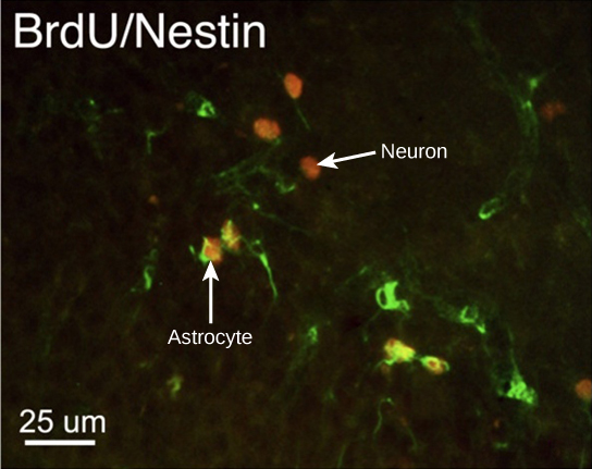 In the micrograph, several cells are fluorescently shown as green only. Three cells are shown as red only, and four cells are shown as being both green and red. The cells shown as green and red are astrocytes, and the cells shown red are neurons. The neurons are oval and about ten microns long. Astrocytes are slightly larger and irregularly shaped.