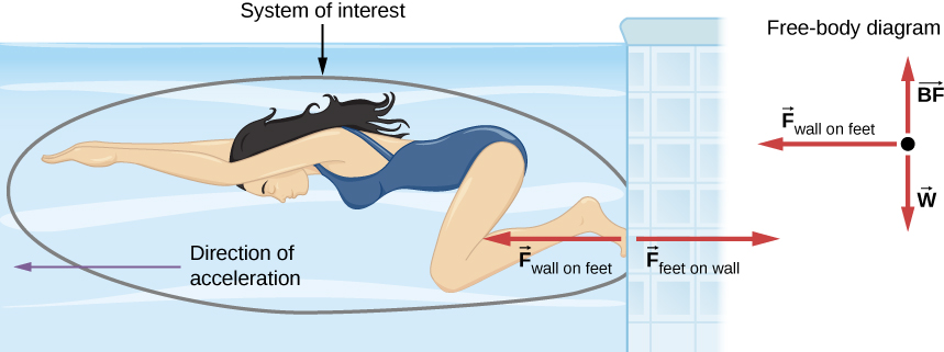 Figure shows a swimmer pushing against a wall with her feet. Direction of acceleration is towards the left. Force F subscript feet on wall points right and force F subscript wall on feet points left. The swimmer is circled and this circle is labeled system of interest. This does not include the wall, nor the force F subscript feet on wall. A free body diagram shows vector w pointing downwards, vector BF pointing upwards and vector F subscript wall on feet pointing left.