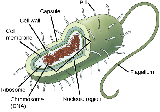 In this illustration, the prokaryotic cell is rod shaped. The circular chromosome is concentrated in a region called the nucleoid. The fluid inside the cell is called the cytoplasm. Ribosomes, depicted as small circles, float in the cytoplasm. The cytoplasm is encased by a plasma membrane, which in turn is encased by a cell wall. A capsule surrounds the cell wall. The bacterium depicted has a flagellum protruding from one narrow end. Pili are small protrusions that project from the capsule all over the bacterium, like hair.