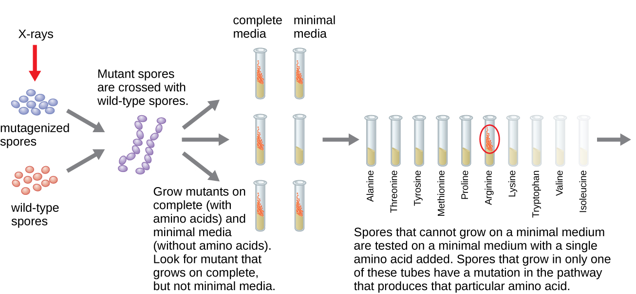 Diagram of Beadle and Tatum's experiment. Wild type spores are exposed to X-rays to form mutagenized spores. The wild type and mutagenized spores are then crossed. The mutants are then grown on complete (with amino acids) and minimal media (without amino acids). Mutants that grow only on complete medium are identified. Spores that cannot grow on a minimal medium are tested on a minimal medium with a single amino acid added. Spores that grow inonly one of these tubes have a mutation in the pathway that produces that particular amino acid.