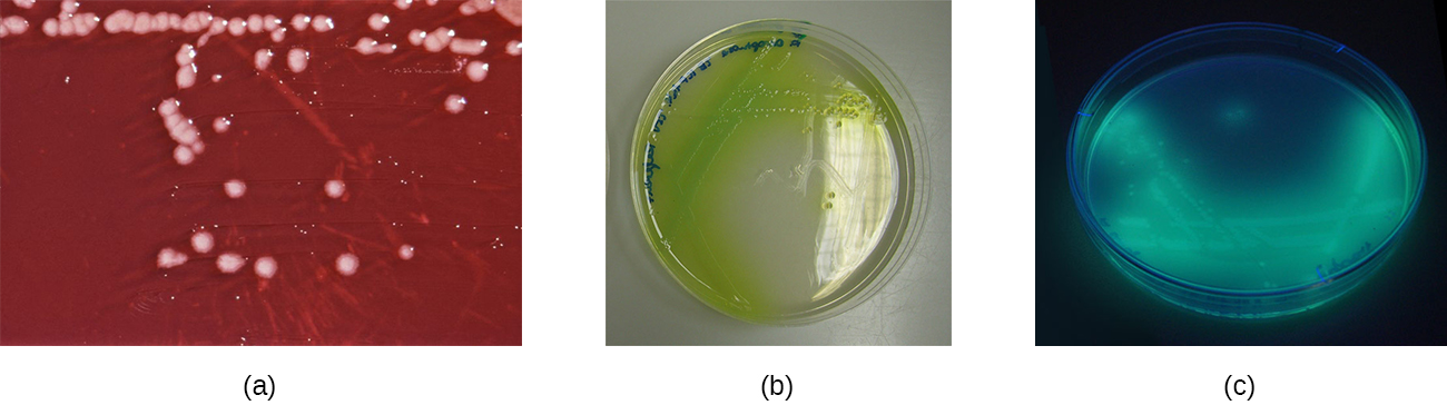 a) A red plate with white colonies. B) A clear plate with green colonies; the green extends past the colony. C) a dark plate with glowing colonies.