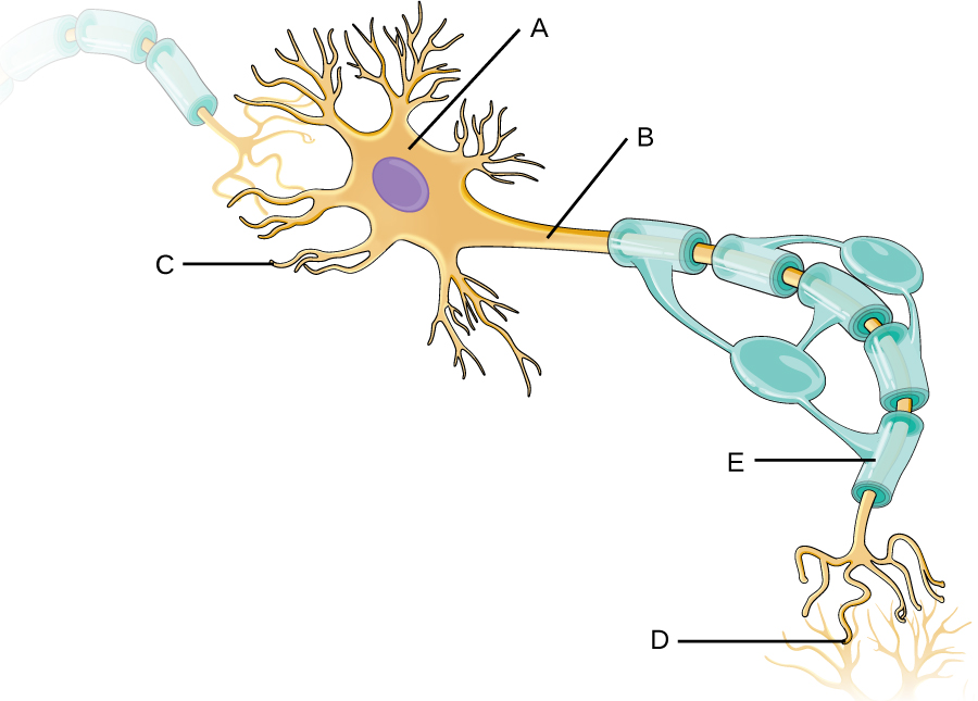 Drawing of a neuron. The large round regions with a darker purple circle is A. Short projections from A are G. A long projection from A is B. This is wrapped in structure E and has gaps labeled F. E is made from C. The end of the long projection is D.