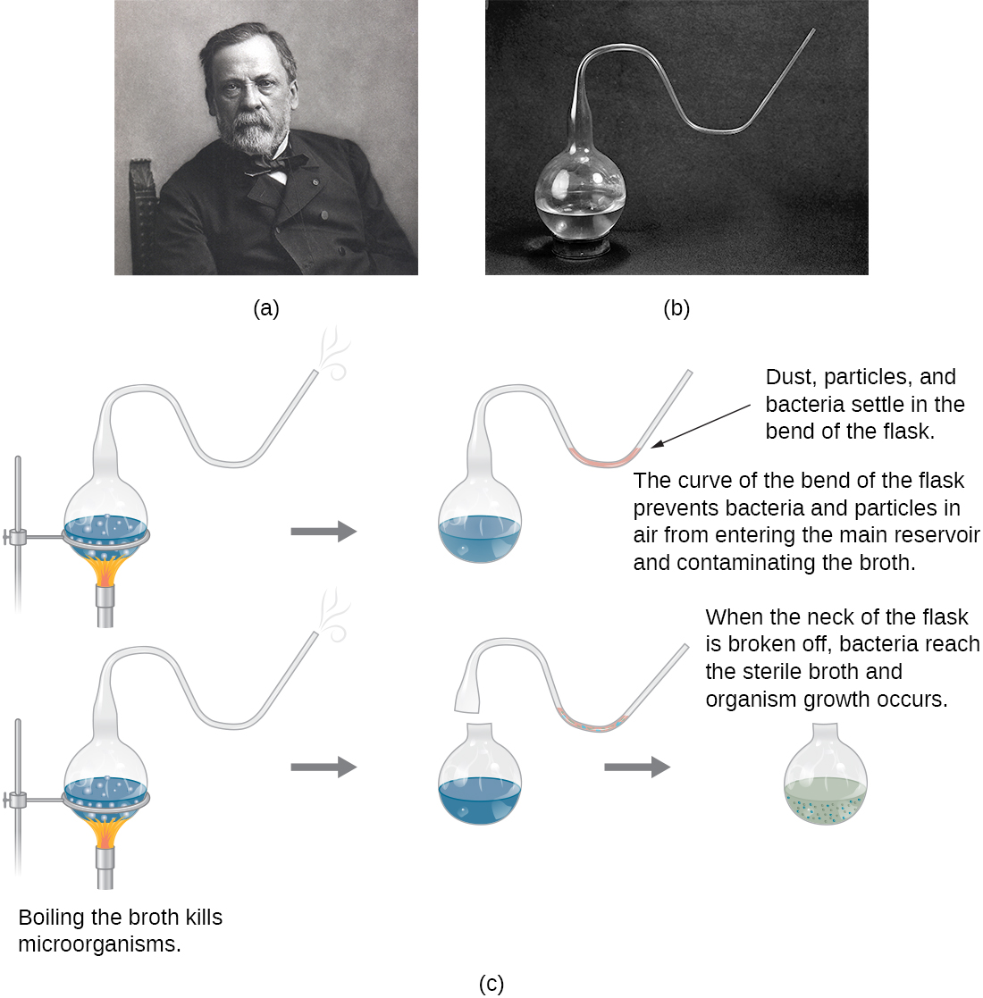 a) Photo of Louis Pasteur b) Photo of Pasteur's flask – a round flask that is only opened to the outside through a long S-shaped tube. c) A drawing of Pasteur's experiment. The top diagram shows the swan-neck flask from (b) containing broth that is being boiled to kill microorganisms in the broth. Dust, particles, and bacteria settle in the bend of the flask. After the boiling process the cooled flask remains sterile because the curve of the bend of the flask prevents bacteria and particles in air from entering the main reservoir and contaminating the broth. So, no contamination occurs. The bottom diagram shows the same flask being boiled. Next, the swan-neck is removed and the flask is opened to the environment. When the neck of the flask is broken off, bacteria reach the sterile broth and organism growth occurs. This is seen as cloudiness in the broth.