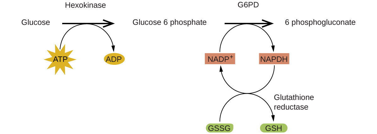 "A reaction mechanism is diagrammed in this figure. At the left, the name Glucose is followed by a horizontal, right pointing arrow, labeled, ""Hexokinase."" Below this arrow and to the left is a yellow star shape labeled, ""A T P."" A curved arrow extends from this shape to the right pointing arrow, and down to the right to a small brown oval labeled, ""A D P."" To the right of the horizontal arrow is the name Glucose 6 phosphate, which is followed by another horizontal, right pointing arrow which is labeled, ""G 6 P D."" A small orange rectangle below and left of this arrow is labeled ""N A D P superscript plus."" A curved arrow extends from this shape to the right pointing arrow, and down to the right to a small salmon-colored rectangle labeled ""N A P D H."" A curved arrow extends from this shape below and to the left, back to the orange rectangle labeled, ""N A D P superscript plus."" Another curved arrow extends from a green oval labeled ""G S S G"" below the orange rectangle, up to the arrow curving back to the orange rectangle. This last curved arrow continues on to the lower right to a second green oval labeled, ""G S H."" The end of this curved arrow is labeled, ""Glutathione reductase."" To the right of the rightmost horizontal arrow appears the name 6 phosphogluconate."