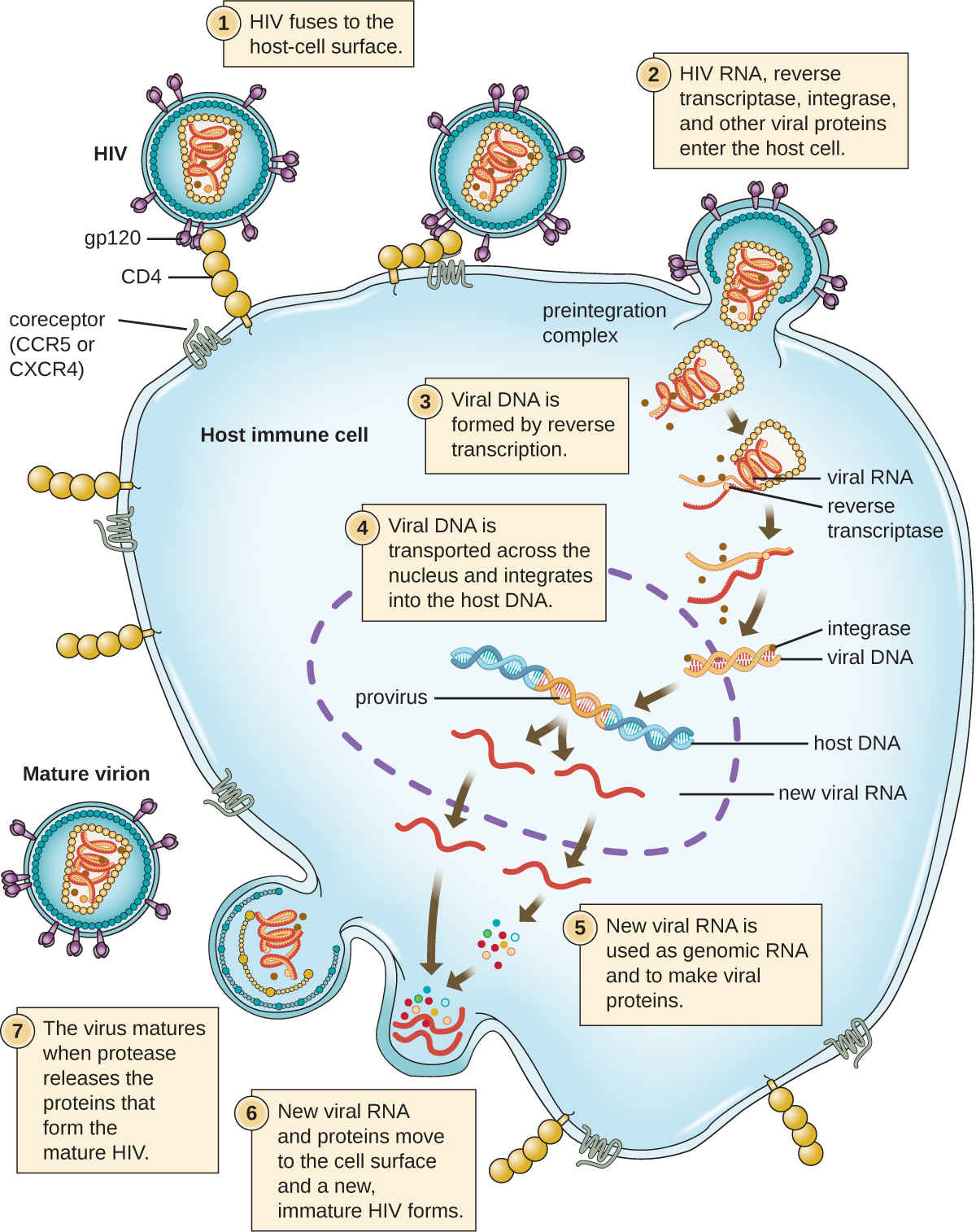 The HIV viral cycle. Step 1: the HIV fuses to the host-cell surface. Specifically, the gp120 proteins on the surface of the virus binds to the CD4. This then binds to a smaller coreceptor (CCR5 or CXCR4). Step 2: HIV RNA, reverse transtriptase, integrase, and other viral proteins enter the host cell. The virus is brought into the host cell and uncoated; both viral RNA and reverse transcriptase are loosed into the cell. Step 3: Viral DNA is formed by reverse transcription. Step 4: Viral DNA is transported across the nucleus and integrates into the host DNA. Integrase found on the viral DNA. The viral DNA in the host DNA is called provirus. Step 5: New viral RNA is used as genomic RNA and to make viral proteins. New viral RNA strands are made and leave the nucleus. Step 6: New viral RNA and proteins move to the cell surface and a new immature HIV forms. The viral is assembled in an outbulging of the host cell. Step 7: The virus matures when protease releases the proteins that form the mature HIV. Mature virion is released.