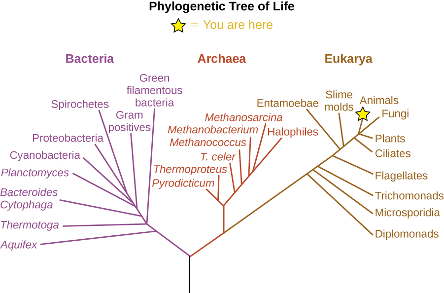 "The phylogenetic Tree of Life. A drawing of branching lines. The central line at the bottom branches into two main branches. On the left branch is the bacterial group. The branch to the right subdivides to the Archaea and Eukarya groups. Additional branches on the Eukarya group from bottom to top are: Diplomonads, Microsporidia, Trichomonads, Flagellates, Entamoebae, Smile molds, Ciliates, Plants, Fungi and Animals (which has a star labeled ""you are here). Brances along the Archaea group from bottom to top are: Pyrodicticu, Thermoproteus, T. celer, Methanococcus, Methanobacterium, Methanosarcina, and Halophiles. Branches in the Bacterial group from bottom to top are: Aquifex, Thermotoga, Green filamentous bacteria, Bacteroides Cytophaga, Gram positives, Planctomyces, Cyanobacteria, Proteobacteria, and Spirocheres."