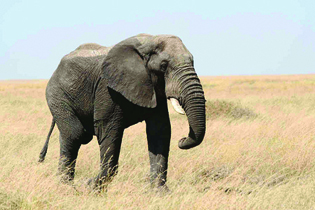 A photograph of an adult elephant.