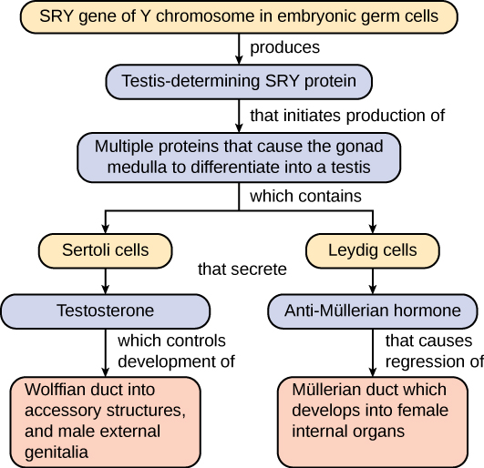 A flow chart illustrates the steps in human embryonic development leading to normal male development. First the SRY gene of the Y chromosome in embryonic germ cells produces testis-determining SRY protein, which in turn initiates the production of multiple proteins that cause the gonad medulla to differentiate into a testis. This medulla contains Sertoli cells that secrete testosterone, which controls development of the Wolffian duct into accessory structures, and male external genitalia. The medulla also contains Leydig cells that secrete anti-Müllerian hormone, that causes the regression of the Müllerian duct, which would otherwise develop into female internal organs.