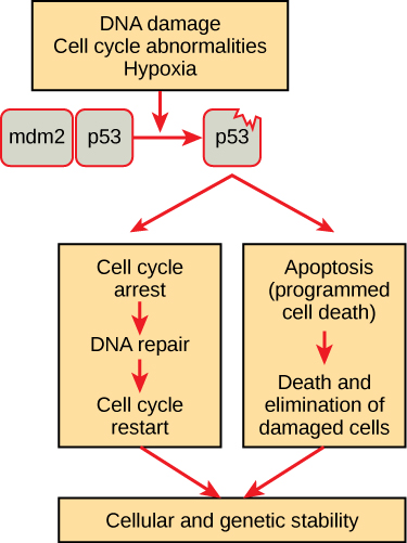 A flow diagram shows the following steps: In a normal cell p53 is inactivated by its negative regulator, m d m 2. Upon DNA damage, cell cycle abnormalities, or hypoxia, the p 53 and m d m 2 complex dissociates, and the p 53 becomes activated. Once activated, p 53 will induce a cell cycle arrest to allow either repair and cell cycle restart or apoptosis to discard the damaged cell.