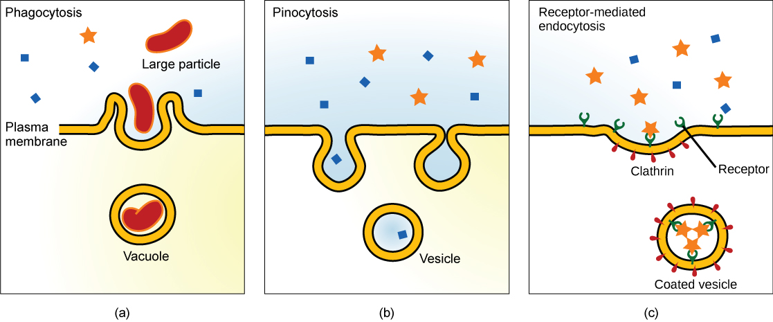 Three types of endocytosis are shown: (a) phagocytosis, (b) pinocytosis, and (c) receptor-mediated endocytosis. Part a shows the plasma membrane forming a pocket around a particle in the extracellular fluid. The membrane subsequently engulfs the particle, which becomes trapped in a vacuole. Part b shows a plasma membrane forming a pocket around fluid in the extracellular fluid. The membrane subsequently engulfs the fluid, which becomes trapped in a vacuole. Part c shows a part of the plasma membrane that is clathrin-coated on the cytoplasmic side and has receptors on the extracellular side. The receptors bind a substance, then pinch off to form a coated vesicle.