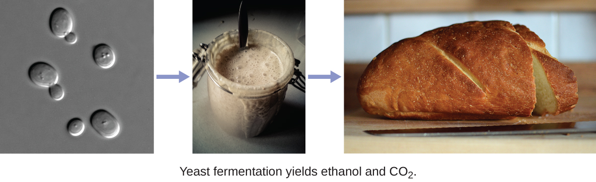 The figure on the left shows oval cells with smaller oval cells budding from the larger cells. An arrow points to a mason jar containing a creamy textured thick liquid. Another arrow points to a loaf of bread.