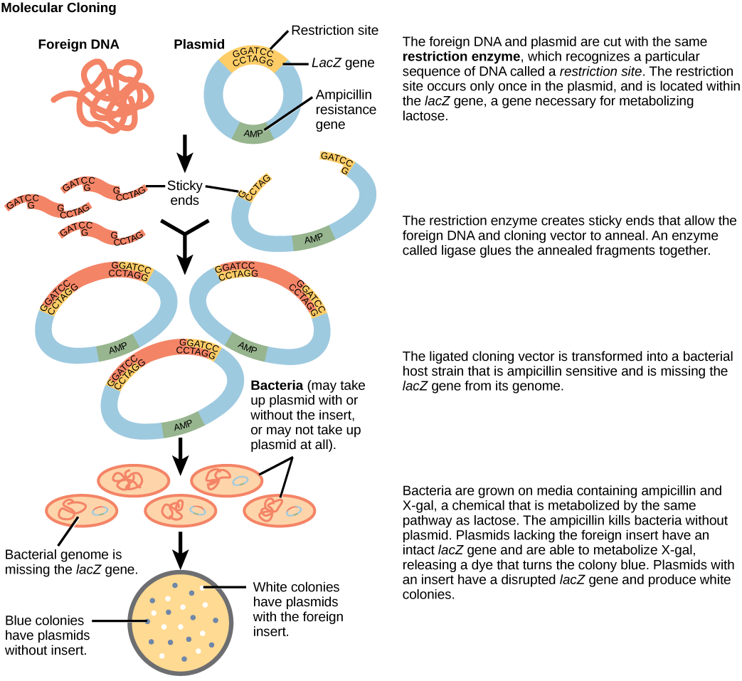 This figure illustrates the steps in molecular cloning into a plasmid called a cloning vector. The vector has a lac Z gene, which is necessary for metabolizing lactose, and a gene for ampicillin resistance. Within the lac Z gene are restriction sites, sequences of D N A cut by a particular restriction enzyme. The D N A to be cloned and the plasmid are both cut by the same restriction enzyme. The restriction enzyme staggers the cuts on the two strands of D N A, such that each strand has an overhanging single-stranded bit of D N A. On one strand, the sequence of the overhang is G A T C, and on the other, the sequence is C T A G. These two sequences are complementary, and allow the fragment of foreign D N A to anneal with the plasmid. An enzyme called ligase joins the two pieces together. The ligated plasmid is then transformed into a bacterial strain that lacks the lac Z gene and is sensitive to the antibiotic ampicillin. The bacteria are plated on media containing ampicillin, so that only bacteria that have taking up the plasmid; which has an ampicillin resistance gene; will grow. The media also contains X gal, a chemical that is metabolized in the same way as lactose. Plasmids lacking the insert are able to metabolize X gal, releasing a dye from X gal that turns the colony blue. Plasmids with the insert have a disrupted lac Z gene and produce white colonies. Thus, colonies containing the cloned D N A can be selected on the basis of color.