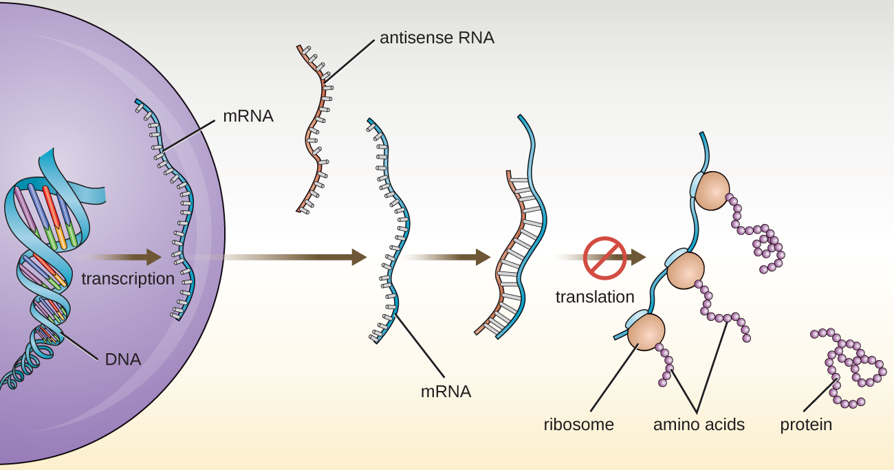 A eukaryotic cell transcribes a region of DNA into mrNA. Antisense mRNA then binds to the this mRNA to produce a double stranded region. This region is not translated (which means that ribosomes do not bind to the mRNA to produce proteins).