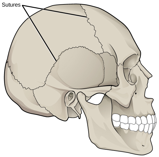 Illustration shows sutures that knit the back part of the skull together with the front and lower parts.  These appear as lines, or cracks, between the bones of the skull.