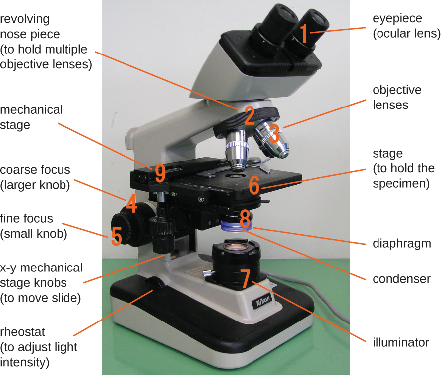 A photo of a microscope is shown. The base contains a light source (the illuminator, #7) and a knob to adjust light intensity (rheostat). Attached at one end of the base is an arm with a stage (#9) to hold the specimen projecting out halfway up the arm. The center of the stage has an opening to allow light from the illuminator through. Below this opening are the diaphragm and condenser (#8). Above this opening are four lenses (objective lenses, #3) on a revolving nose piece (#2) that holds the multiple objectives. Above the objective lenses are two eye pieces (#1) called the ocular lenses. Attached to the bottom of the stage are two knobs for moving the slide (x-y mechanical stage knobs). On the arm below the stage are 2 knobs for focusing the image. The larger knob (#4) is the coarse focus, and the smaller knob (#5) is the fine focus.