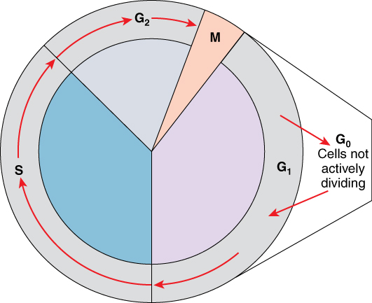 This figure shows the different stages of the cell cycle. The G0 phase where the cells are not actively dividing is also labeled.