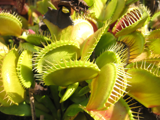 Photo shows a Venus flytrap. Pairs of modified leaves of this plant have the appearance of a mouth. White, hair-like appendages at the opening of the mouth have the appearance of teeth. The mouth can close on unwary insects, trapping them in the teeth.