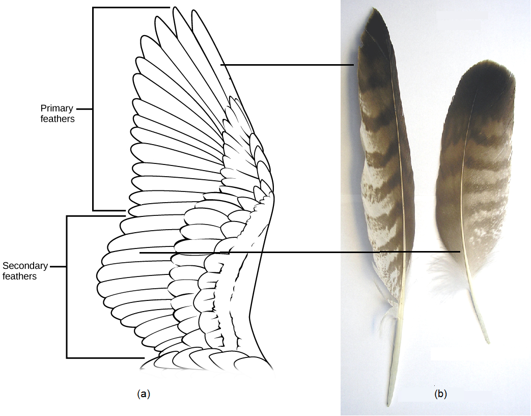 The illustration shows a birds wing, which has two layers of flight feathers, the long primary feathers and the shorter secondary feathers, which overlay the primary feathers. Also depicted are photographs of feathers displaying the same components